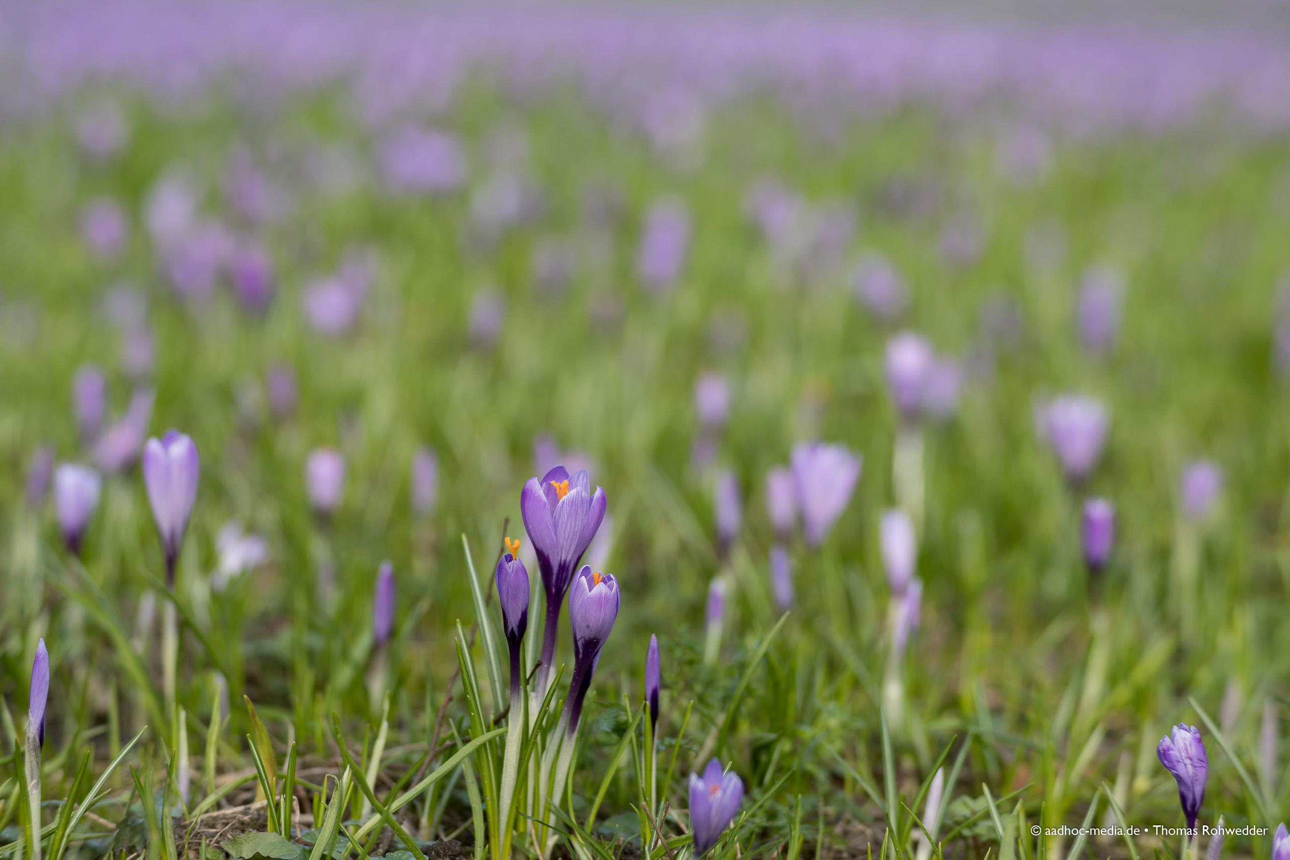 Krokusblüte in Husum - Fotograf aus Kiel - ©Photo: aadhoc-media • Thomas Rohwedder